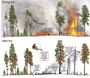 Photo of Graphic showing types of heat that may be transferred to living tissues of trees during fire (top panel) and examples of the resulting injuries to different parts of the trees after fire.