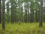 Photo of A cavity tree for the endangered red-cockaded woodpecker in a thinned and burned longleaf pine stand, Calcasieu RangerDistrict, Kisatchie National Forest, Louisiana.