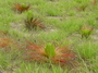 Photo of Fire between March and May ensures regrowth of scorched foliage among longleaf pine seedlings and saplings.