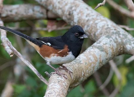 Photo of 1) Biologist conducting bird monitoring 2) Eastern towhee