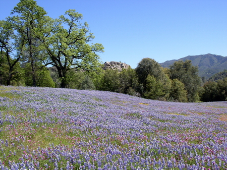 Photo of A meadow of wildflowers in Los Padres National Forest, California.