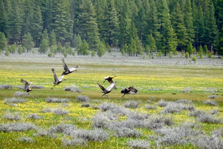Photo of Sandhill cranes visiting Pine Creek Valley on the Lassen National Forest - photo