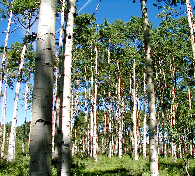 A healthy looking aspen grove fills the photo.