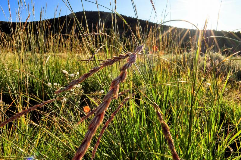 Great Basin Wild Rye Seed Head