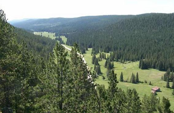 Landscape of dense ponderosa pine forest in the Black Hills (photo by Blaine Cook).