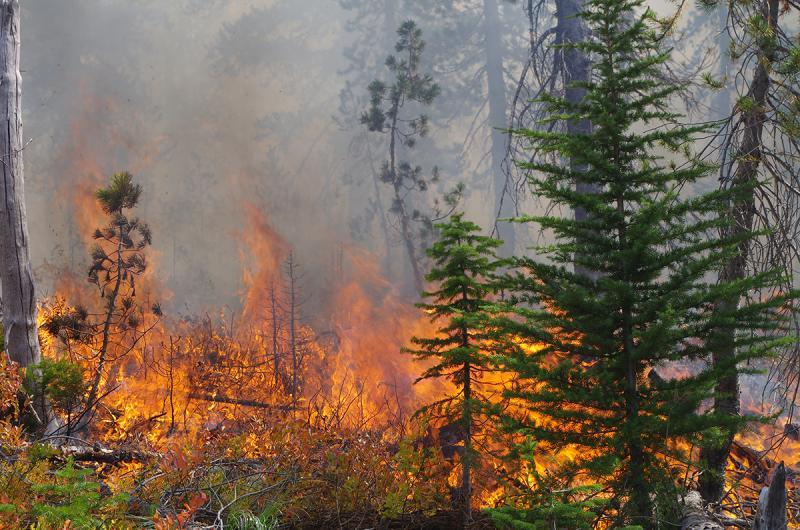 Daylighting treatments, including this prescribed fire at Mink Peak on the Lolo National Forest, will reduce competition for whitebark pine and improve its chances for survival (photo by Bob Keane)