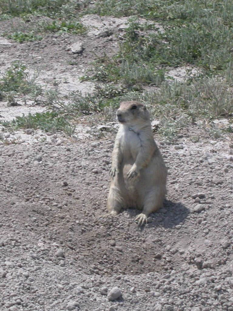 Black-tailed prairie dog.