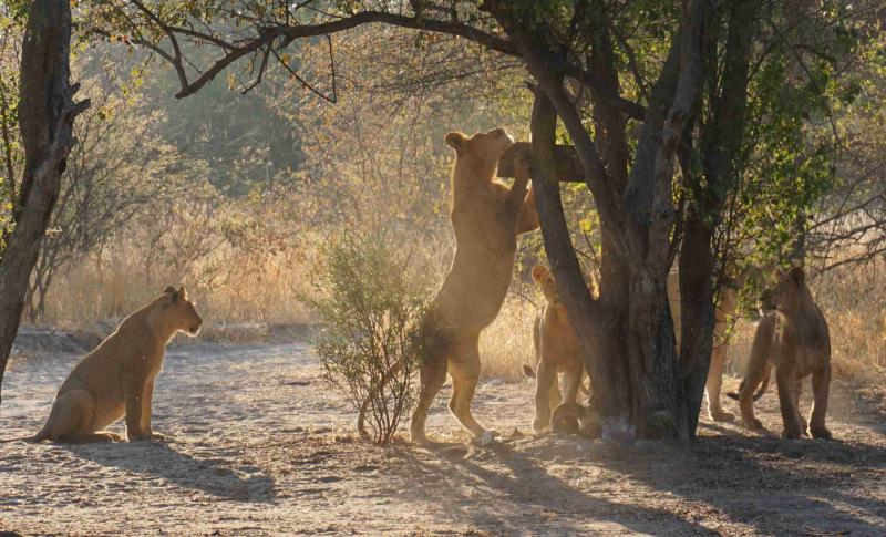 Juvenile lions playing in the Central Kalahari Game Reserve (photo by S.Cushman)2.