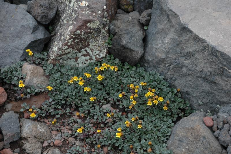 San Francisco Peaks ragwort is an endemic plant species found only in the San Francisco Peaks in northern Arizona (photo credit: Carolyn Sieg).