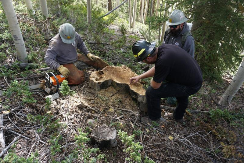 Crew sampling a ponderosa pine stump with evidence of multiple fires in an aspen co-dominant, mixed-conifer stand in the Tushar Mountains, Fishlake National Forest.