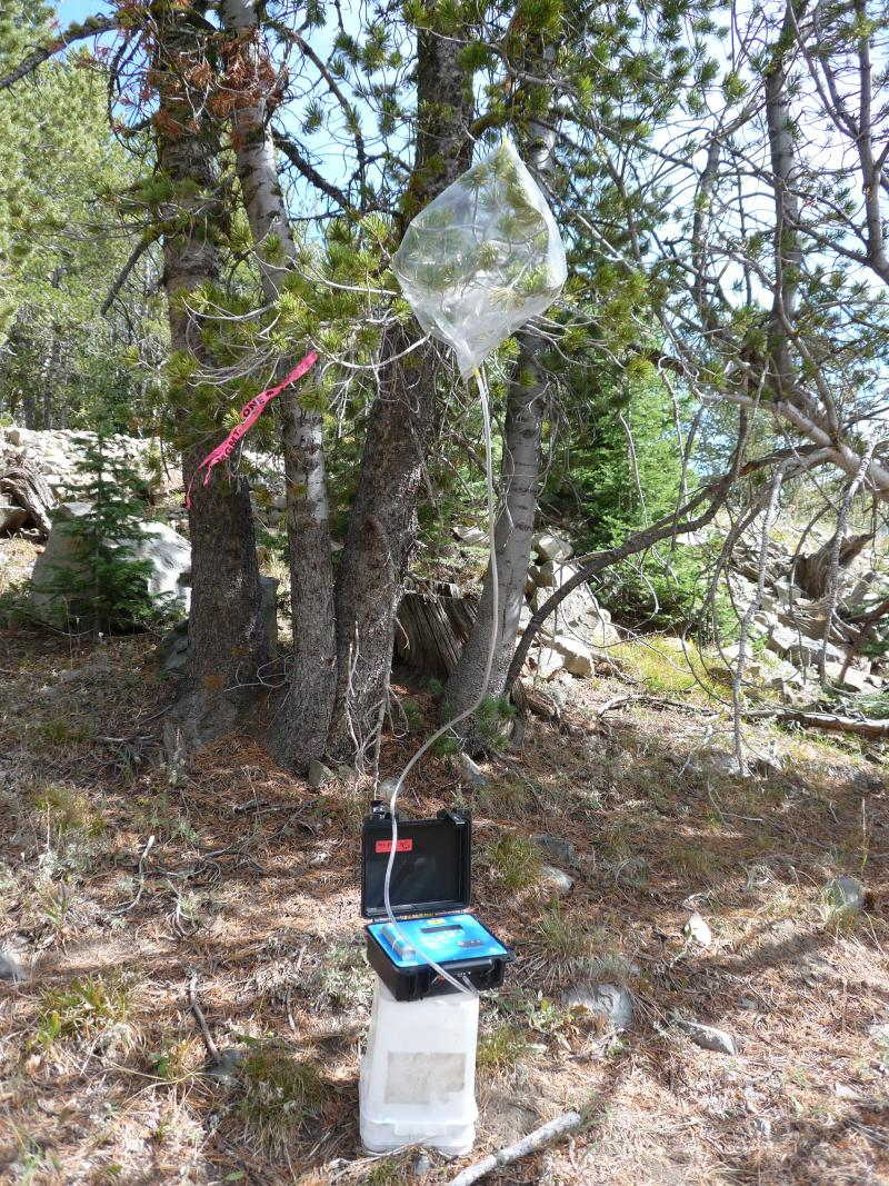 Collecting flammable volatile compounds emitted by beetle-attacked trees in Montana.