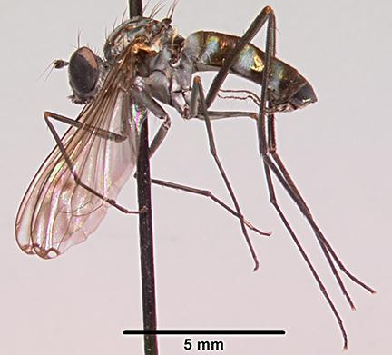 Liancalus sonorus is a new species of fly discovered in Arizona.