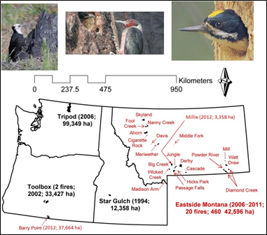 Woodpecker species associated with burned forests (from left to right: white-headed woodpecker, Lewis' woodpecker, and black-backed woodpecker) and sites where these species have been studied.