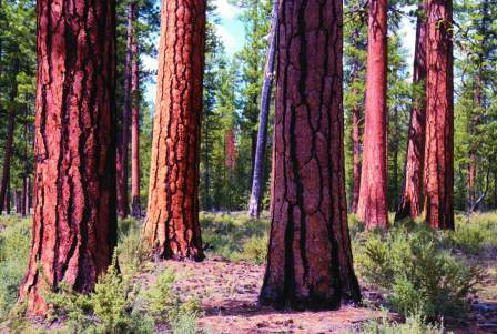 Ponderosa pine forests with large-diameter trees represent important habitat for multiple disturbance-associated woodpeckers and are the focus of forest restoration.