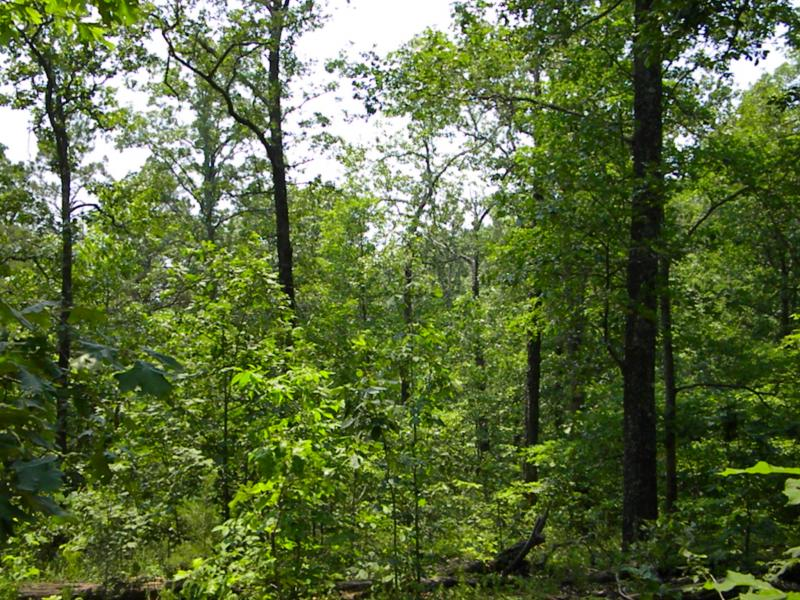 Closed forest with treed understory in Missouri. The photo shows a green, forested area. (Photo courtesy of C. Kinkead)