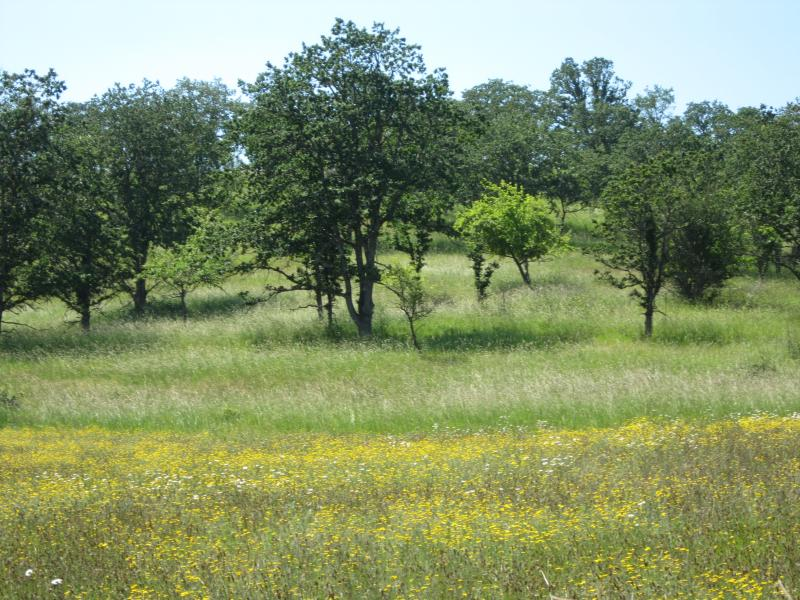 Western oak savannas in Oregon. The photo shows a forested, green area. (photo courtesy of B. Hanberry).