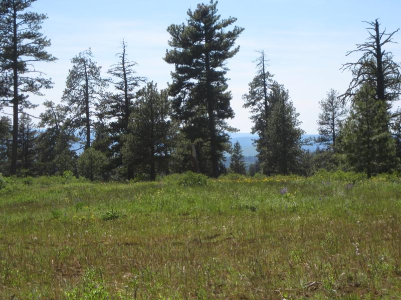 Open pine forest in Washington. The photo shows a grassy area with pines behind it. (photo courtesy of B. Hanberry).