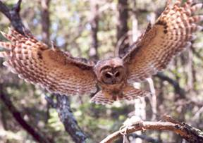 A Mexican spotted owl prepares to capture a mouse in the Sacrament Mountains, New Mexico (photo by Darrell. L. Apprill).