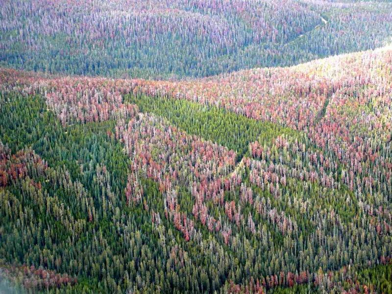 Mountain pine beetle outbreak on the Fraser Experimental Forest, 2007.