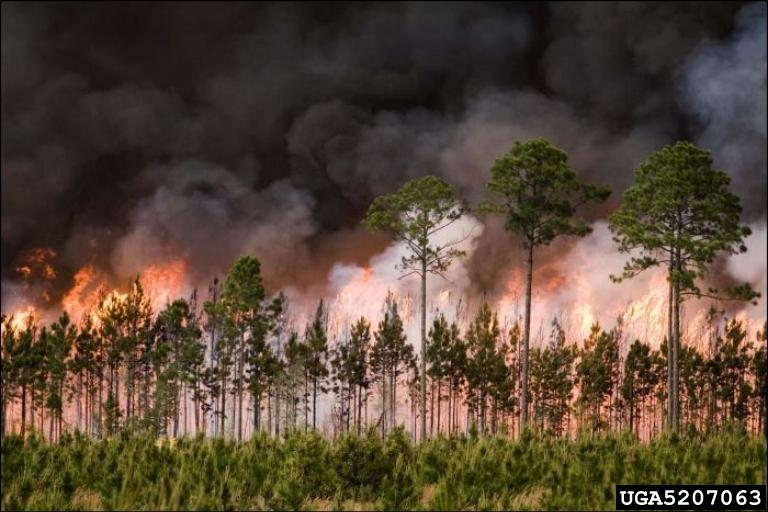 A wildfire burning through loblolly pine in Georgia in 2007 (photo compliments of Georgia Forestry Commission Archive, Bugwood.org).