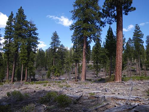 Stand level treatment to restore old-growth pine forests and improve vigor of old trees.