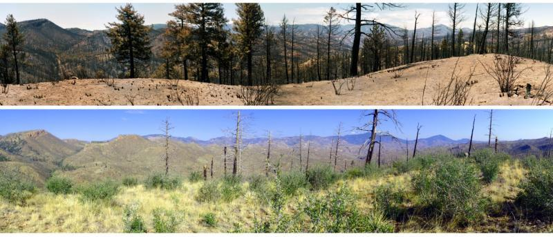 Forest understory on a severely burned ridgetop one month after the 2002 Hayman Fire (top; photo by Merrill Kaufmann) and 10 years later (bottom; photo by Paula Fornwalt).