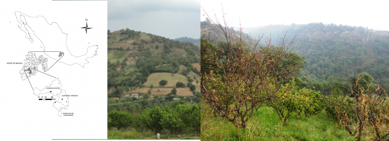 The figure shows a map of areas where the Armillaria mexicana was found, a middle photo shows an orchard in an infected area, and the third image shows plant mortality