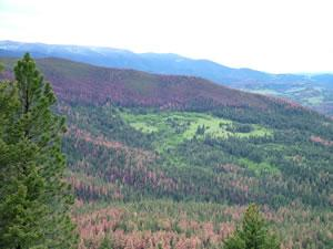 Tree mortality from the current MPB epidemic in the Elkhorn Mountains, Helena National Forest (photo by Vicki Saab and Barbara Bentz).
