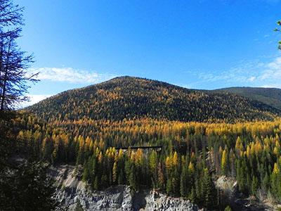 Autumn view of larches on the Flathead National Forest, MT