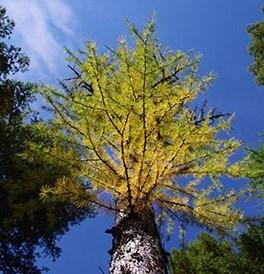 Larches are one of the few coniferous trees to change colors and lose their needles in the fall.