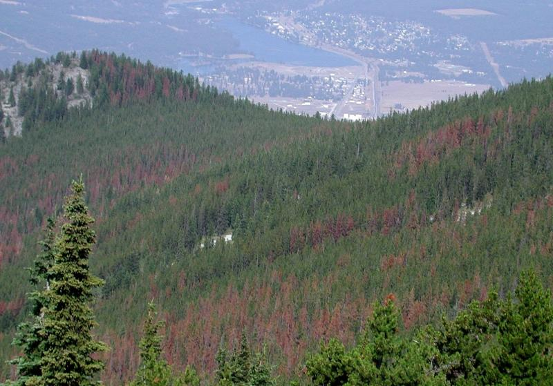 Forest impacted by the mountain pine beetle.