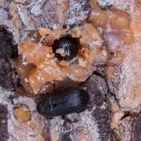 The mountain pine beetle is a small but effective disturbance agent in western forests.