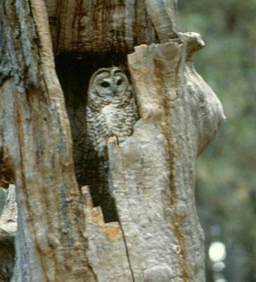 A Mexican spotted owl nesting in a broken-topped ponderosa pine snag, Arizona.