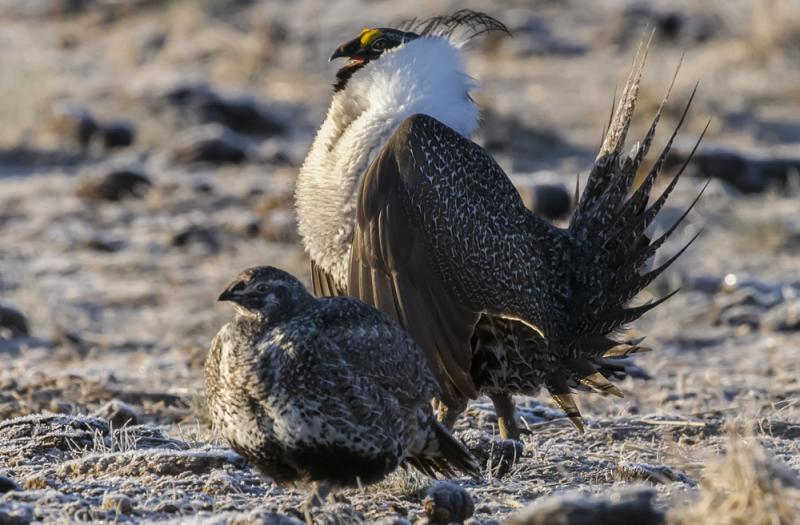 Male and female greater sage-grouse converge on sagebrush mating areas every year (Photo by Rick McEwan, Sage Grouse Initiative).
