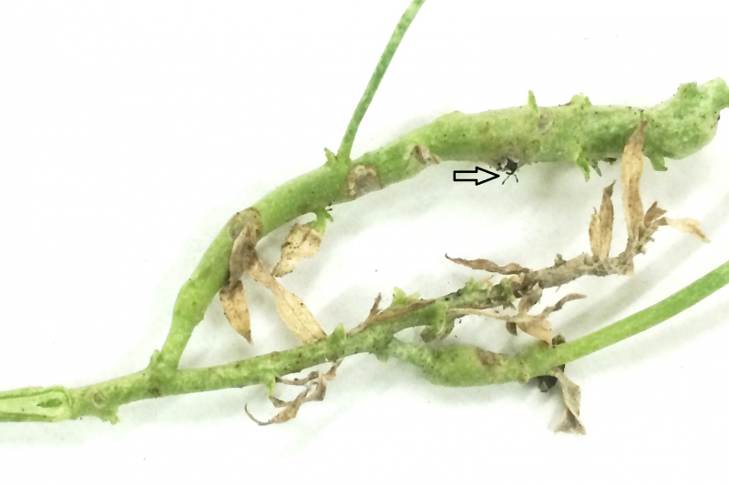 Yellow toadflax stem mining weevils emerging from hybrid toadflax in Montana State University's quarantine facility. Arrow points to top of the head (including antennae) of emerging weevils (photo by S.E. Sing).