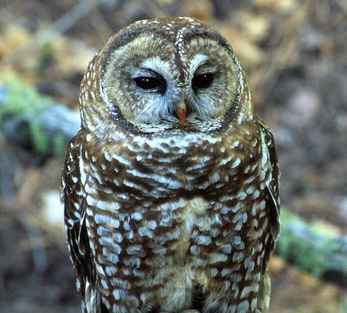 A Mexican spotted owl sits on a branch.