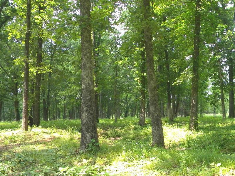 A picture of open oak forest with grassland understory treated by fire in Missouri, showing greenery and trees (photo courtesy of C. Kinkead).