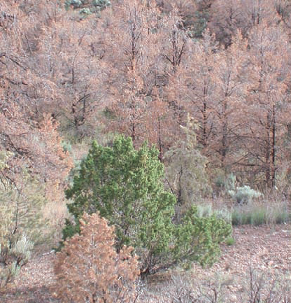 Widespread pinyon mortality is common across the West (photo by N.S. Cobb).