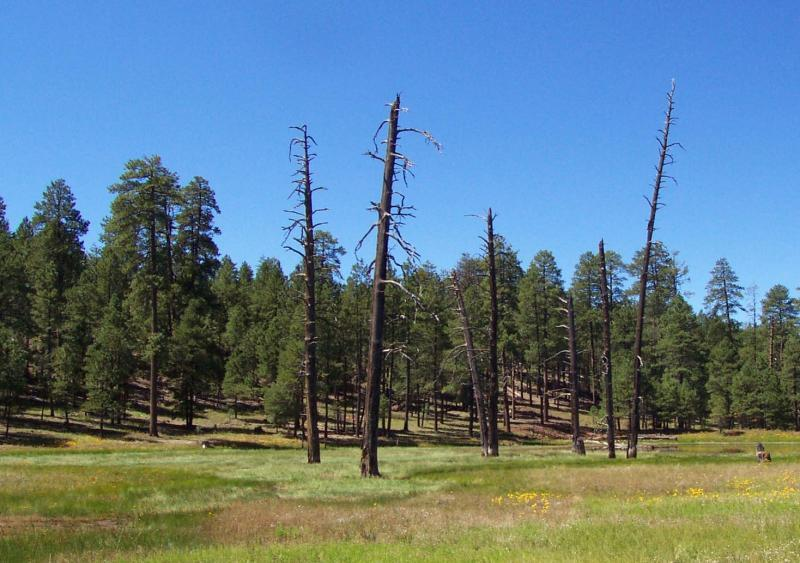 A clump of ponderosa pine snags in northern Arizona.