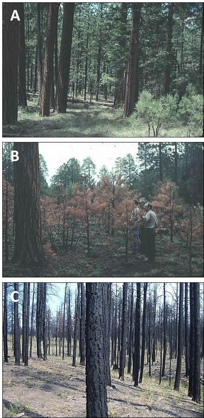 Effects of fire varied widely in a ponderosa pine forest in Arizona from (A) unburned areas to those burned at (B) low-to moderate severity and at (C) high severity (photos by Peter Ffolliott).
