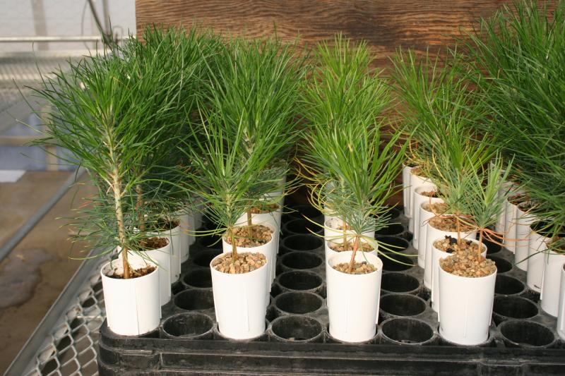 Ponderosa pine seedlings grown in nursery-substrate amended with increasing amounts of biochar (right to left).