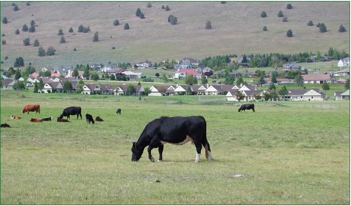 The photo shows a grazing black cow closer to the camera with other cows grading in the field behind it. Houses are visible in the background.