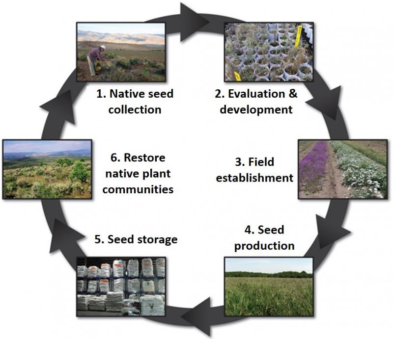 Developing reliable, stable crops of native seeds involves many steps from initial collection to testing to on-the-ground restoration (image from the BLM Plant Conservation Program).