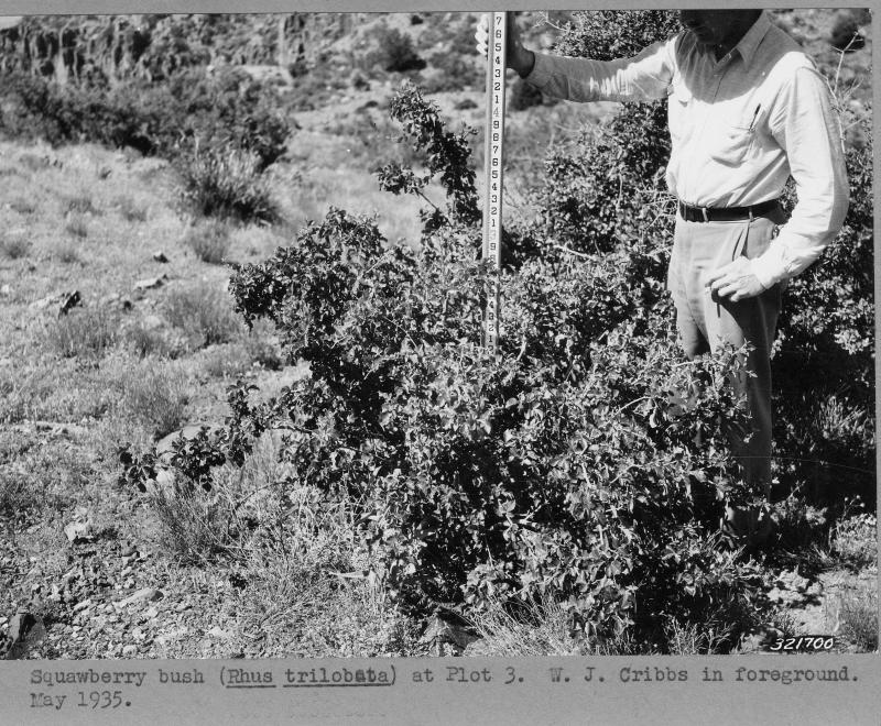 W.J. Cribbs uses a staff rod to measure the height of a shrub at Plot 3 in 1935 at the Sierra Ancha Experimental Forest