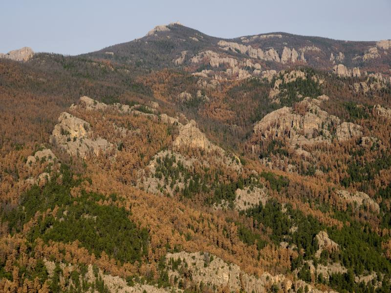 Mountain pine beetle caused tree mortality in the Black Hills