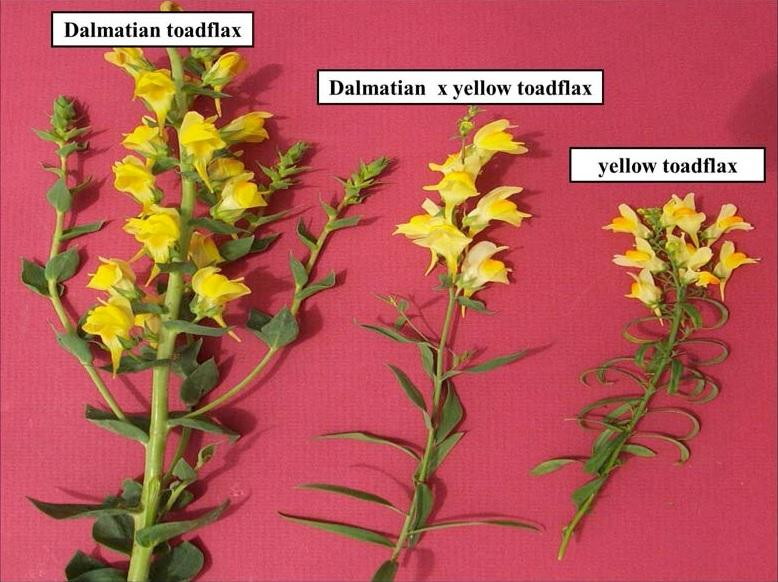 Dalmatian toadflax (left) and yellow toadflax (far right) can interbreed to form Dalmatian x yellow toadflax hybrids (middle) (photo by Sarah Ward, Colorado State University).