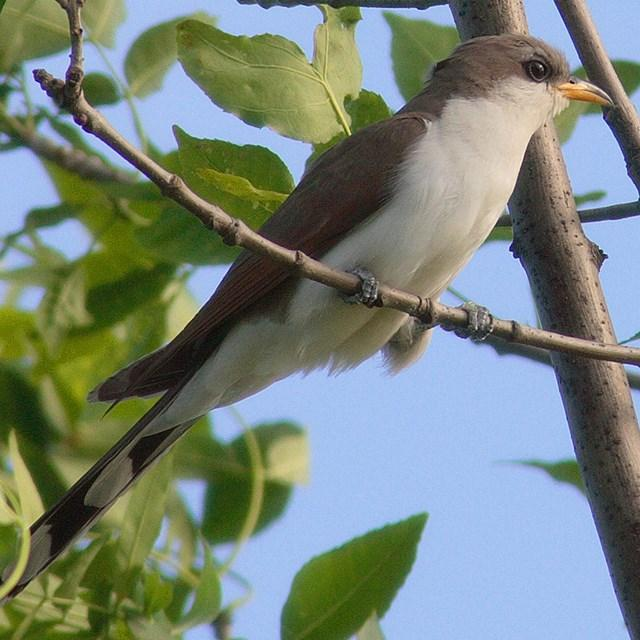 Close-up of a Yellow-billed Cuckoo from the Grand Canyon. Picture courtesy of National Park Service