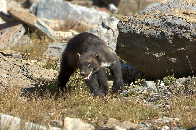 Wolverines (Gulo gulo), like this one photographed in Montana, are a rare member of the weasel family and are noted for their exceptionally large home ranges (roaming areas). Their primary habitat are areas with snowpack through May.  Photo by USDA Forest