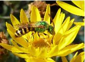 A metallic green bee visits flowers of hairy false goldenaster