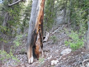 Evidence of multiple fires found on the bristlecone pine snag